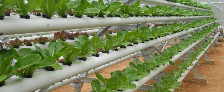 manfaat mengkonsumsi sayuran hidroponik